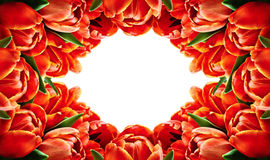 Red tulip flowers horizontal frame Royalty Free Stock Photo