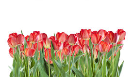 Red tulip flowers isolated Royalty Free Stock Photography