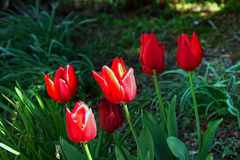 Beautiful red tulip flowers in park on Anglesey,United Kingdom,close up. Fresh  open red tulip flowers bloom in park Royalty Free Stock Photos