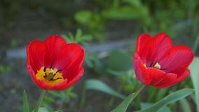 Red tulip flowers. Natural background stock video footage