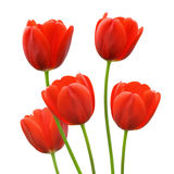 Red tulip flowers in spring. Bunch of five red tulip buds isolated, freshly bloomed for spring royalty free stock photo