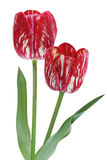Red Tulip Flowers Stock Photos