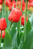 Red tulip flowers in Zhongshan Park Stock Photo