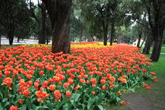 Red tulip flowers in Zhongshan Park Stock Image