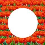 Red tulip Frame Stock Photo