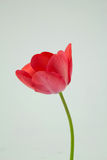 Red Tulip. Fresh cut tulip pictures taken in studio Royalty Free Stock Images