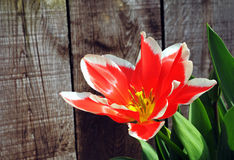 Red tulip on front of wooden fence Stock Image