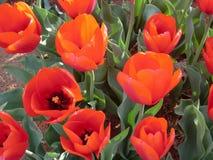 Red tulip. In full bloom. `Ile de France`. Triumph Tulip Stock Photography