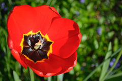 Red tulip in the garden. Beautiful red tulip in the garden royalty free stock images