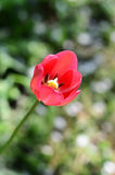 Red Tulip in the garden. Beautiful flower red Tulip in the garden royalty free stock photos
