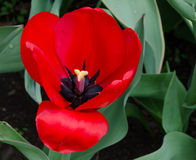 Red Tulip in Garden. Stock Photography