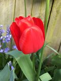 Red tulip in garden. Close up of red tulip in sunny garden next to wooden fence Stock Image