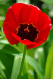Red tulip in the garden Stock Images