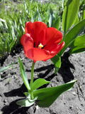 Red tulip in the garden Stock Photo