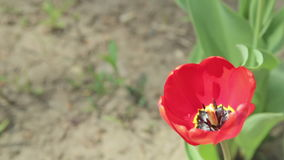 Red tulip in the garden. With green natural background stock footage