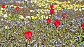 Red Tulip In Garden. On Springtime stock video