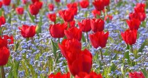 Red Tulip Garden In Springtime stock video
