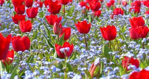 Red Tulip Garden In Springtime. Background stock video