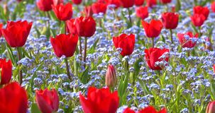 Red Tulip Garden In Springtime stock video