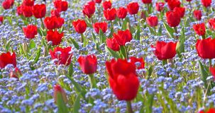 Red Tulip Garden In Springtime stock footage