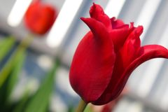 Red tulip in the garden. Photo for postcard beauty decoration. Red tulip in the garden. Tulips spring flower. Photo for postcard beauty decoration royalty free stock images