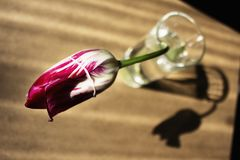 Red tulip in glass and shadow on wooden table royalty free stock photography