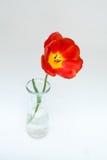 Red tulip. In glass vase Stock Photos