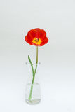 Red tulip. In glass vase Stock Image