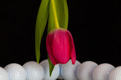 Red tulip and golf equipments Stock Photography