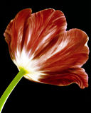 Red Tulip. A gorgeous red Tulip flower Stock Images