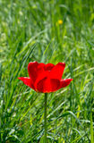 Red tulip in the grass Stock Images