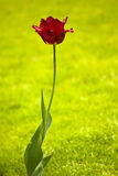 Red tulip on a green background Stock Photos