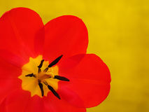 Red tulip on green background Stock Images