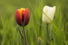 Red tulip on green blurred background. In the foreground red-yellow Tulip closeup. In the background a blurred white tulip and green grass Royalty Free Stock Photo