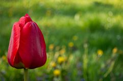 Red tulip on green field royalty free stock photography