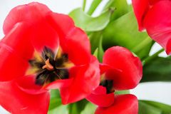 Red Tulip and green foliage close up stock photos