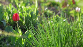 Red Tulip among green grass stock video footage