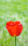 Red tulip on green grass background. Stock Photos