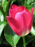 Red tulip with green leaves on background. Close up of blossom. Spring theme stock image
