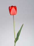 Red tulip on grey gradient background. Single beautiful flower with some real raindrops. With copy space, soft grey background stock images
