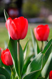 Red tulip Stock Images