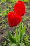 Red tulip on the ground. Red tulip growing on the green ground close up royalty free stock photography