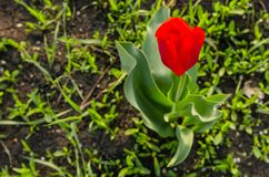 Red tulip on the ground. Red tulip growing on the green ground in the park royalty free stock photos