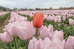A red tulip growing with purple tulips. stock photo