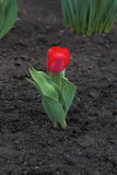 Red tulip grows on the ground. Flower red tulip grows on the ground Stock Photos