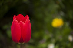 Red tulip head cup Stock Images