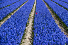 Red Tulip In Lushly Blue Hyacinth Field Royalty Free Stock Photos