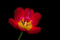 Red tulip isolated on black Stock Images