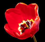 Red tulip isolated on black macro Stock Image
