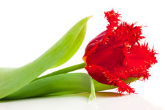 Red tulip isolated on white Stock Images